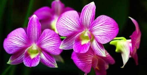 foto bunga anggrek 1