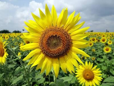 foto bunga matahari 1