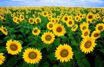 gambar bunga matahari 1