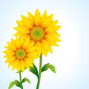 50 Gambar Bunga Matahari Foto Wallpaper Hd Sketsa Kartun